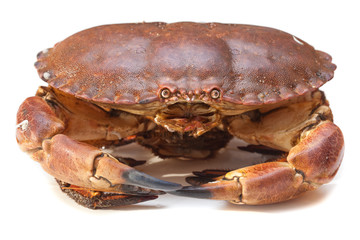 Cancer pagurus sea crab on white background