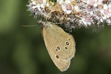 Aphantopus hyperantus - Satyr (Eye) Flower.