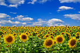 Field of sunflowers,on the background of blue sky.