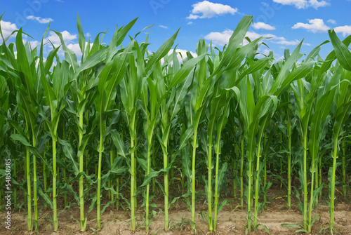Stalks of corn against the background of the blue sky.