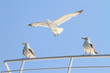 seagulls escorting a ferry boat