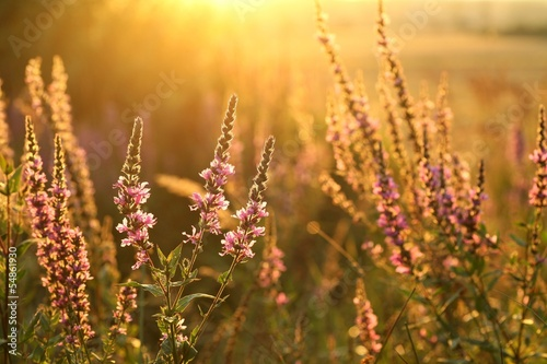 Purple loosestrife at dusk