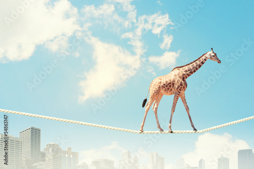 Staande foto Giraffe Giraffe walking on rope