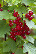 Red Currant Hanging