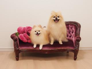 ソファーで笑う2匹のポメラニアン
