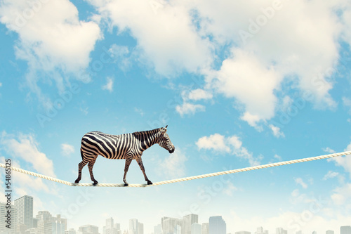 Fotobehang Zebra Zebra walking on rope