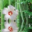 hibiscus zen