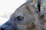 Close up of Spotted Hyaena (Crocuta crocuta)