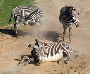 The Zebra rolling in the dust. Antiparasitic dust bath.