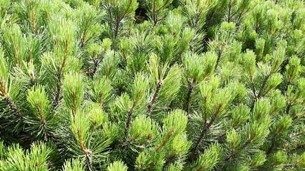 Mountain pine ( pinus mugo )