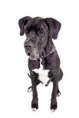 Black Great Dane, on the white background