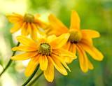 Gelber Sonnenhut (Rudbeckia)