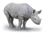The Northern White Rhinoceros (Ceratotherium simum cottoni).