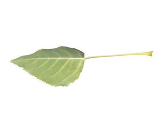 Тополиный Лист