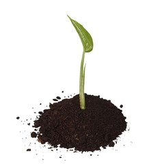 tropical plant tree growing seedling in soil isolated on white