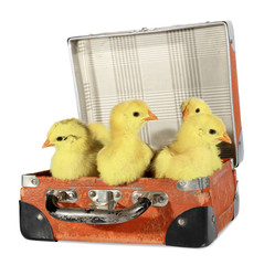 Four chicks in old suitcase