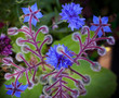 Blue Borage and cornflower flowers closeup photo
