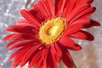 A red gerber
