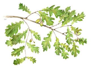 Farnia - Quercus robur