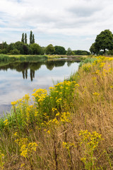 Summer landscape with blooming Tansy Ragwort on the banks of the
