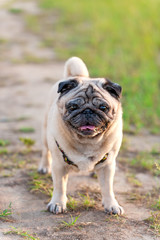 old pug dog for a walk outdoor shot