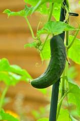 Salatgurke an der Pflanze
