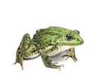 green bog frog on a white background
