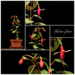 Fuchsia collage