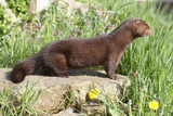 American mink, Mustela vison poster