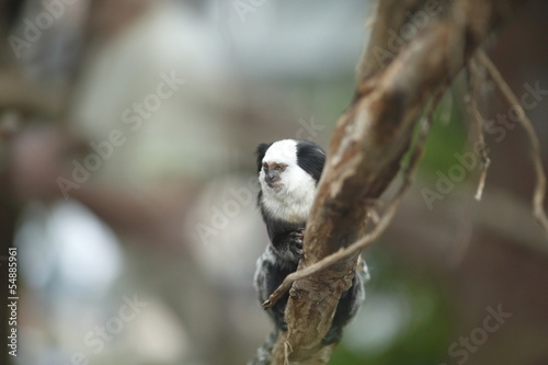 White-headed Marmoset sitting in a tree