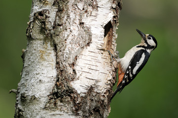 Great-spotted woodpecker, Dendrocopos major, female
