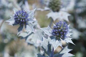chardons bleus