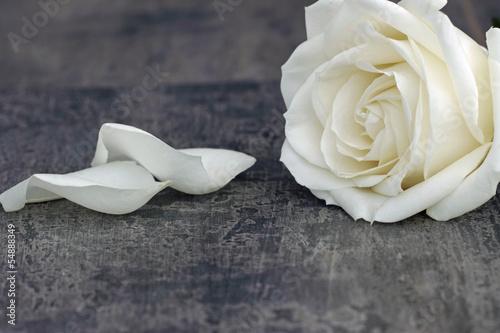 Weisse Rose - 54888349