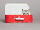 Fototapety Curious playful funny tabby kitten in red little suitcase. Studi