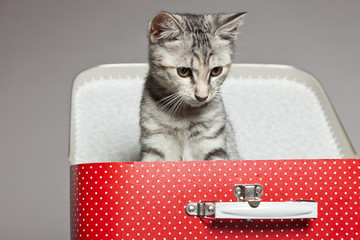 Curious playful funny tabby kitten in red little suitcase. Studi