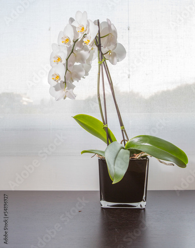White orchids by a window