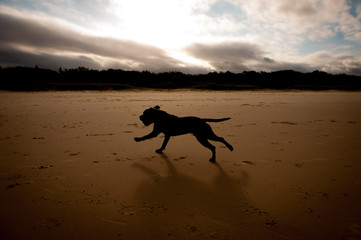 Silhouette Brown English Staffordshire Terrier