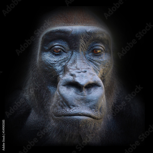 The evil eyes in the night. The Gorilla portrait.