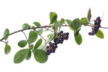 chokeberrys twig