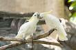 Cockatoo,Cacatua galerita