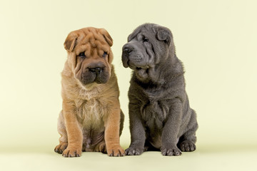Hunde-Shar-Pei-9217