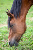 Closeup head of chestnut horse eating young grass