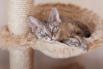 Beautiful devon rex cat laying on hammock and chilling