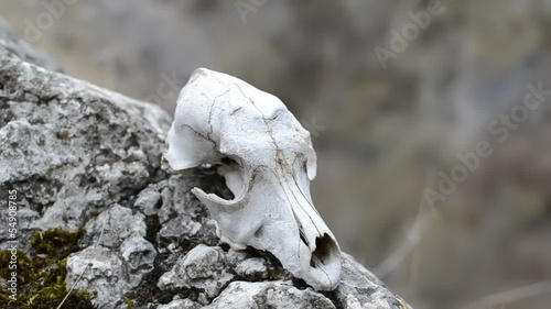 dog skull on a rock in arid enviroment