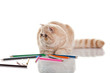 Exotic shorthair cat. Cute tabby kitten playing on white backgro