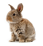 Animals. Rabbit isolated on a white background - Fine Art prints