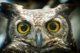 owl portrait staring at camera close up