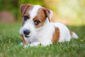 Parson Russell Terrier Welpe knabbernd auf einer Wiese