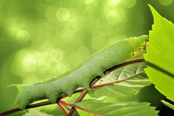 Caterpillar on green leaf.