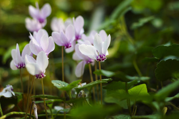 Wild cyclamens close up